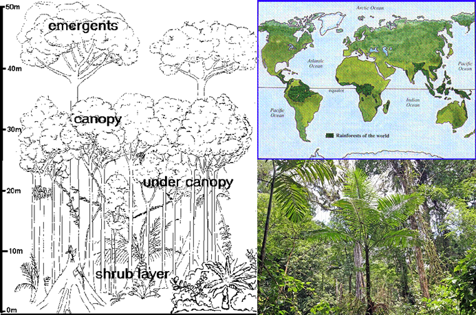 Drawn rainforest tropical rainforest biome Commercial Ecosystems / ibbio
