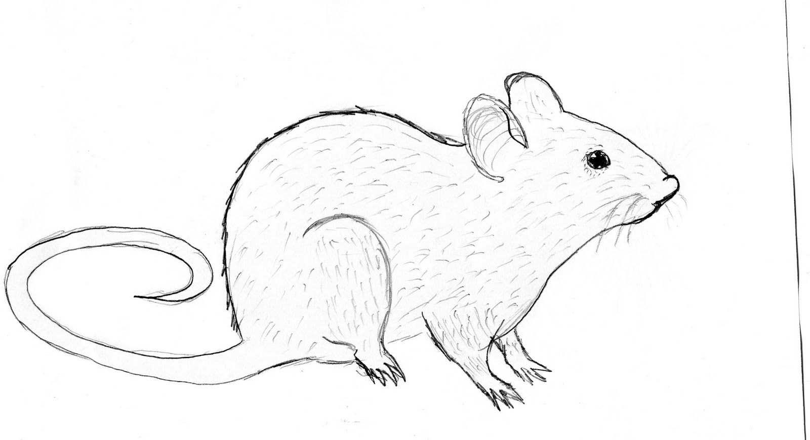 Drawn rat Sustainability: 2010 October Rat drawing