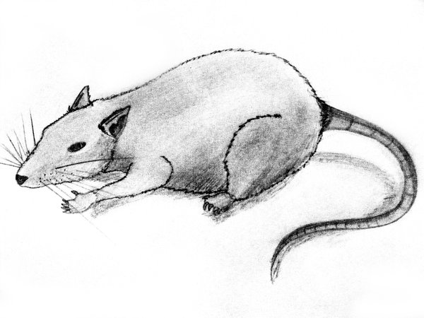 Drawn rat By DeviantArt rat scumdesigns scumdesigns