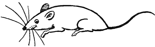 Drawn rat Draw Steps Rats  in