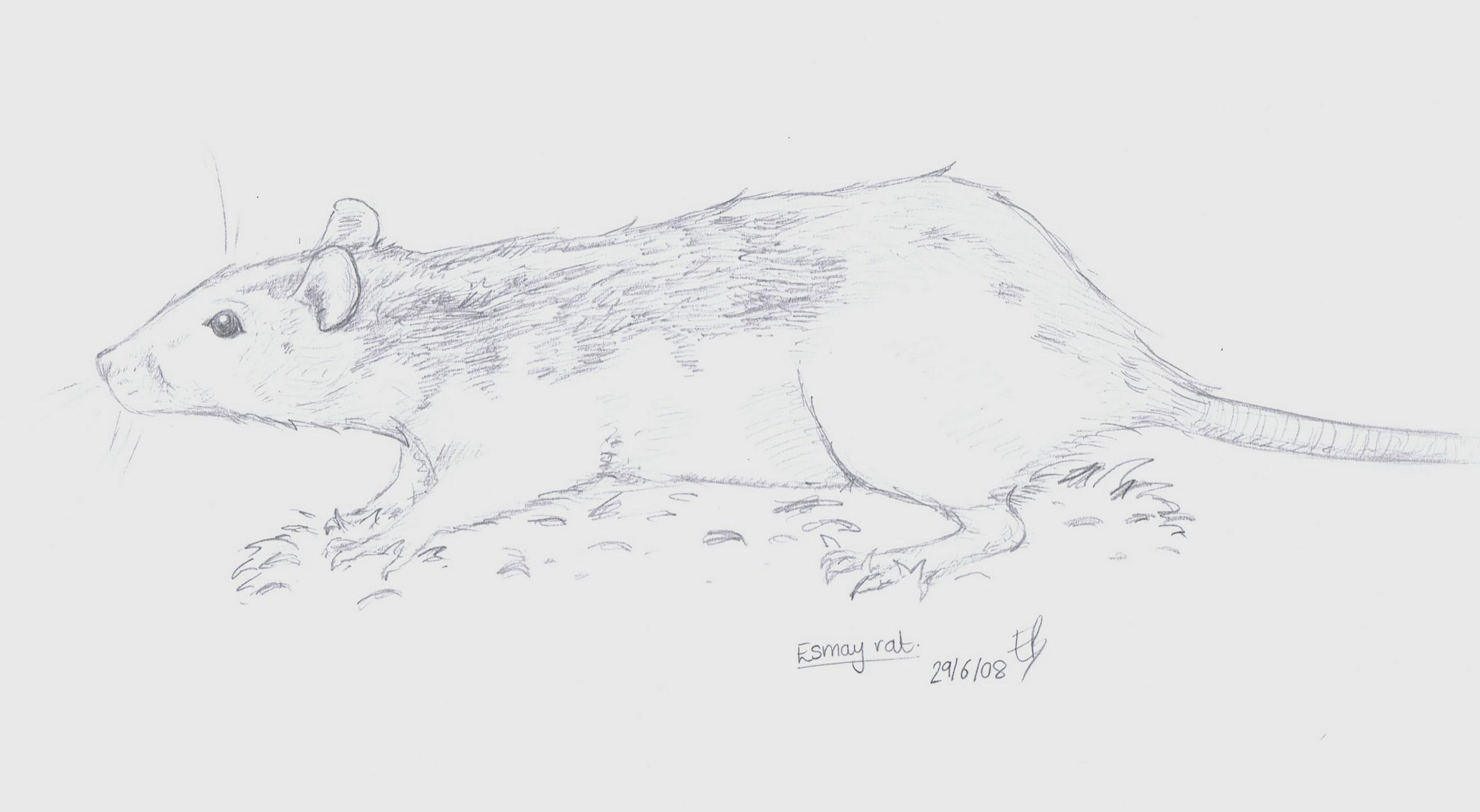 Drawn rat art Of a Pro Esmay a