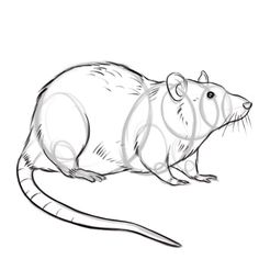 Drawn rat beginner A Draw rat more