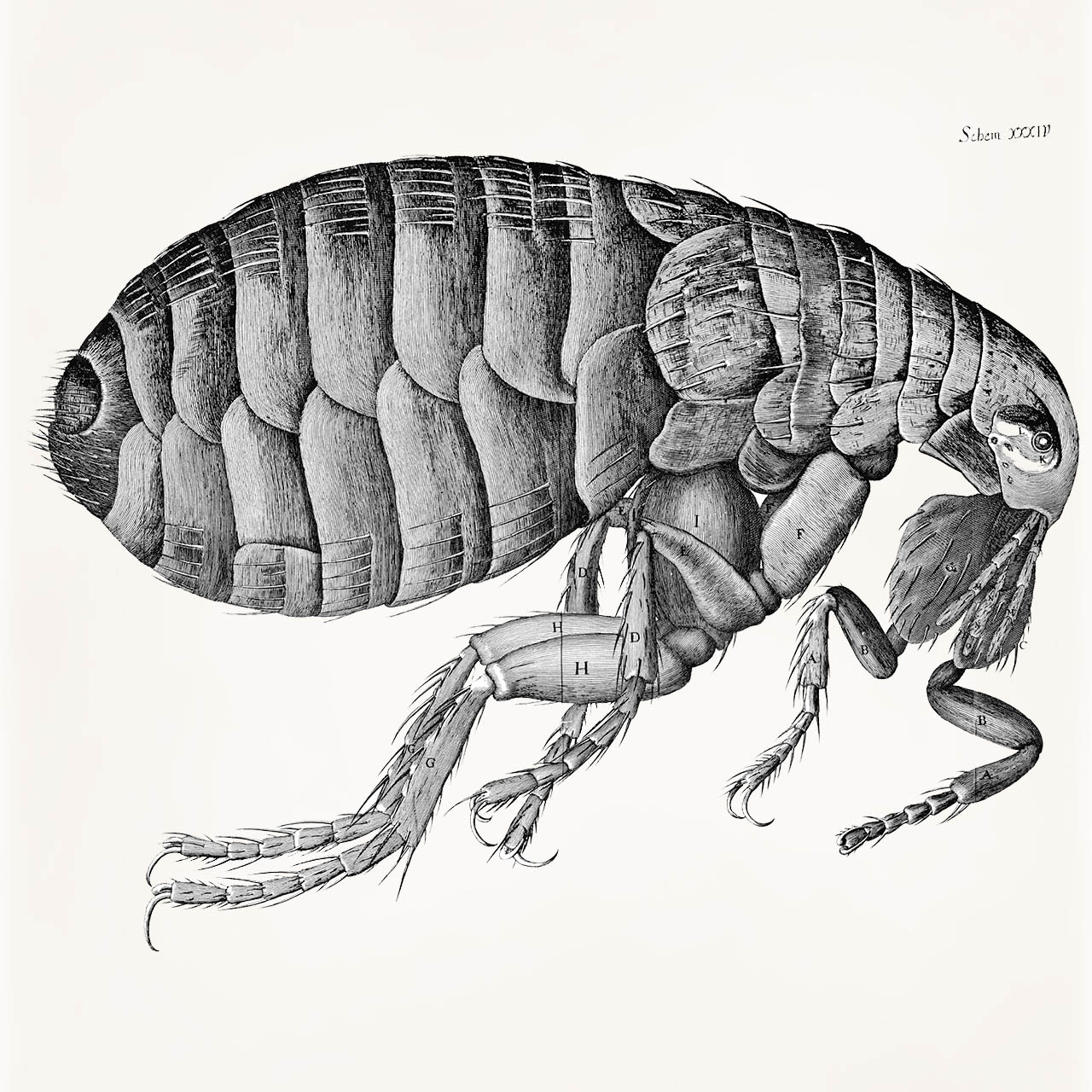 Drawn rat bubonic plague The the in carrier A