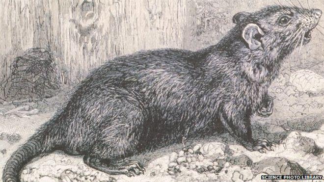 Drawn rat bubonic plague Rats' of main BBC cause