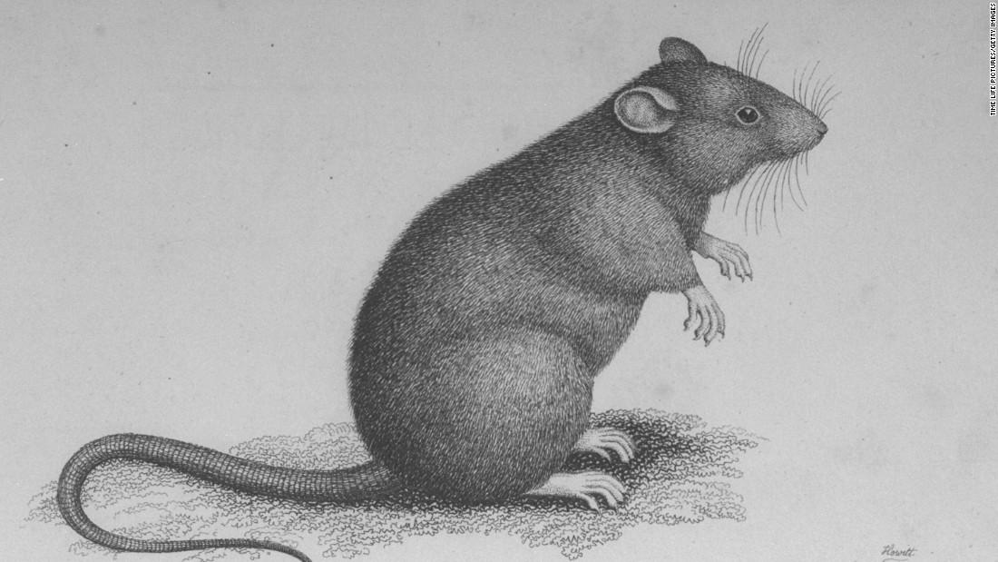 Drawn rat bubonic plague As suspects plague spreading Gerbils