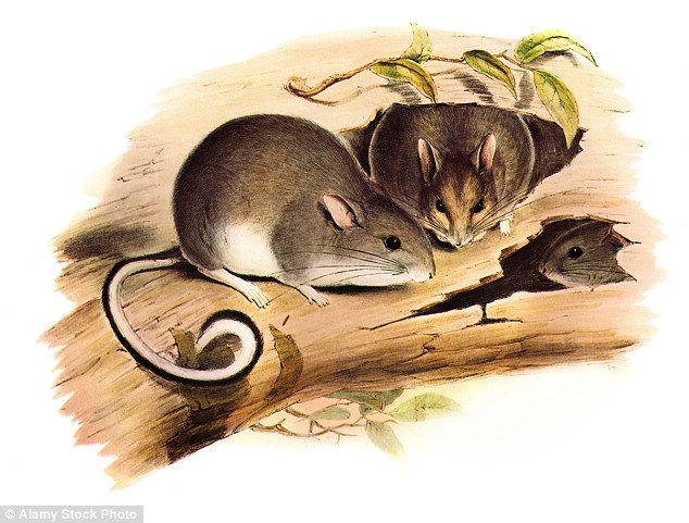 Drawn rat cave British But 1850s rodents The