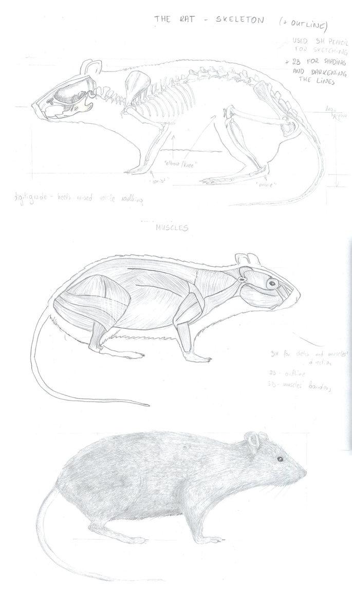Drawn rat dap A rat by oboeteru Drawing