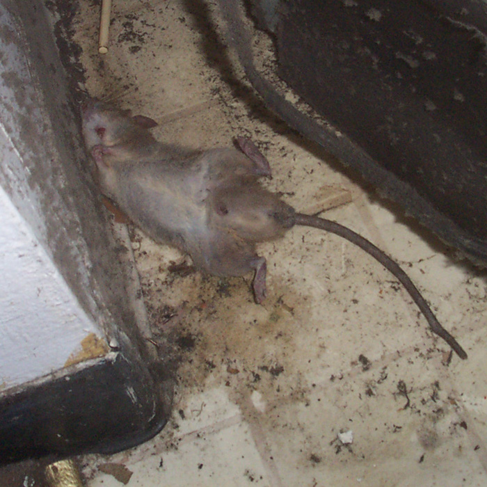 Drawn rat diseased How or the in How