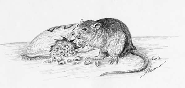 Drawn rat diseased A of drawing To kitchen