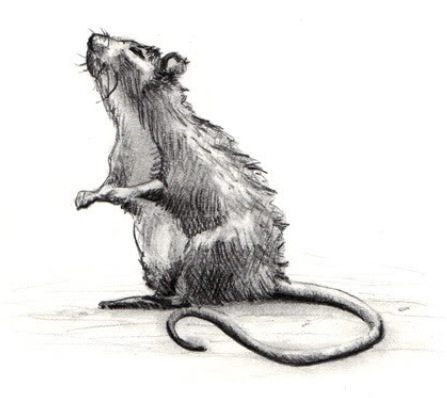 Drawn rat grey Rats Sketches and & Rat