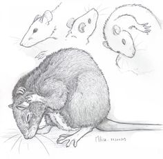 Drawn rat grey Draw Rat a DeviantArt Rat