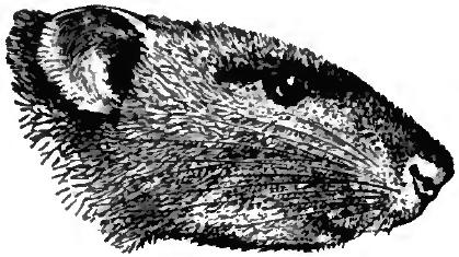 Drawn rat headed 4/1/15 Choose Poison #AtoZChallenge Letter