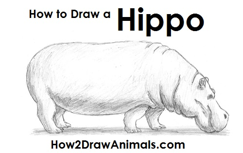 Drawn rat hippo Draw to How a Hippopotamus