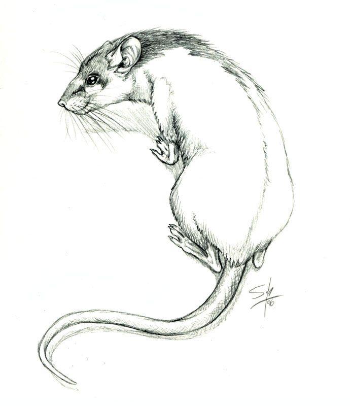 Drawn rat hooded Art images Rats Rat 283