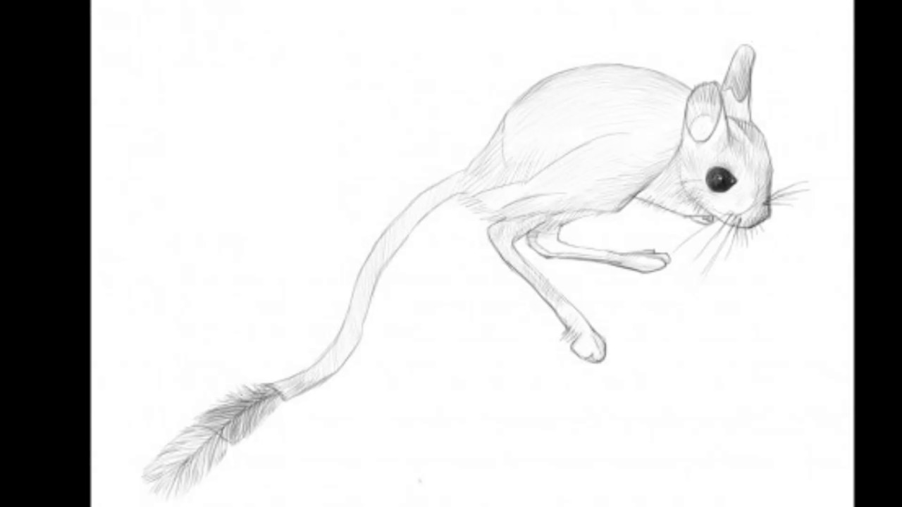 Drawn rat jerboa Draw Draw A How Jerboa