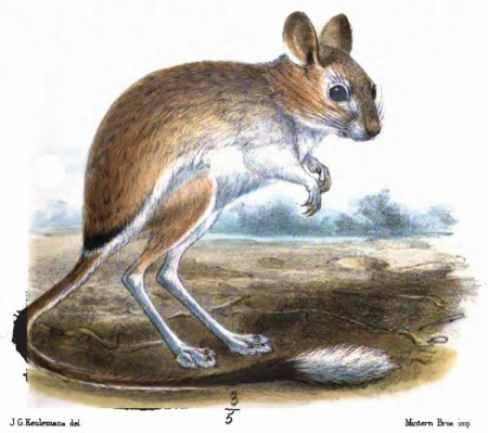 Drawn rat jerboa Dr They at of black