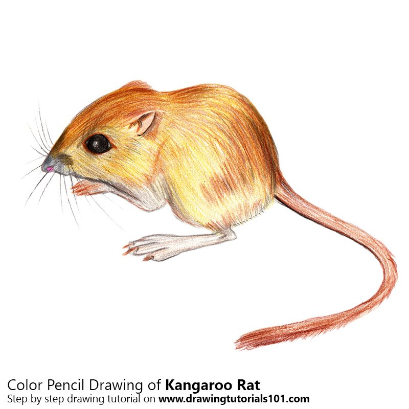 Drawn rat kangaroo rat Drawing Rat Colored Drawing