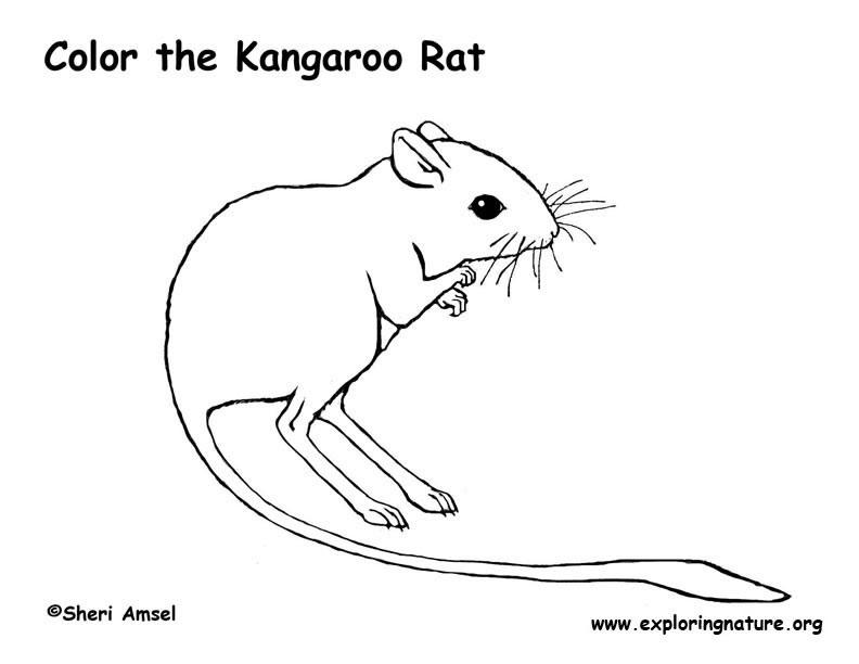Drawn rat kangaroo rat Page Rat Kangaroo  Coloring