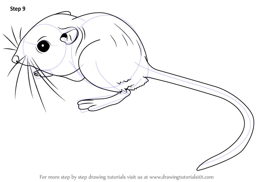 Drawn rat kangaroo rat  Draw Step Kangaroo :