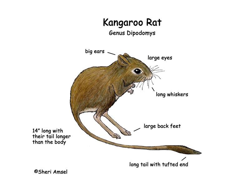 Drawn rat kangaroo rat Rat of a  rat