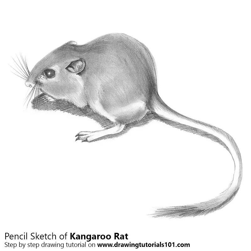 Drawn rat kangaroo rat Rat Pencils Pencils DrawingTutorials101 Drawing