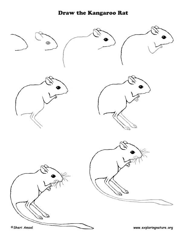 Drawn rat kangaroo rat Lesson Rat Kangaroo  Drawing