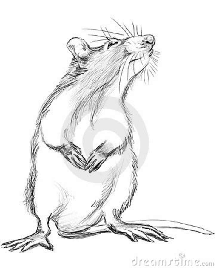 Drawn rat mean Tat rat в  illustration