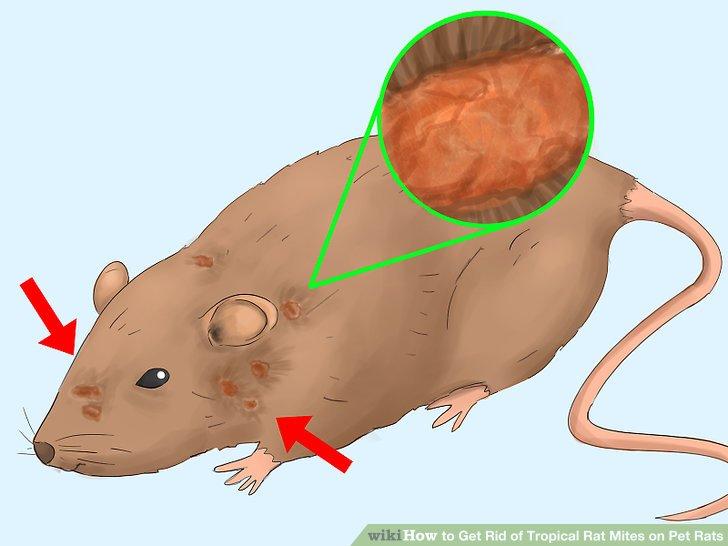 Drawn rat mite Rat Rats Get Pet Tropical