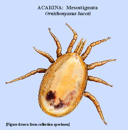 Drawn rat mite Liponyssoides and infest dermatitis as