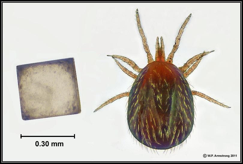 Drawn rat mite Table compared average mite) of
