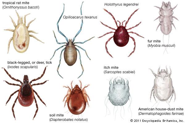 Drawn rat mite Art mite Britannica com arachnid