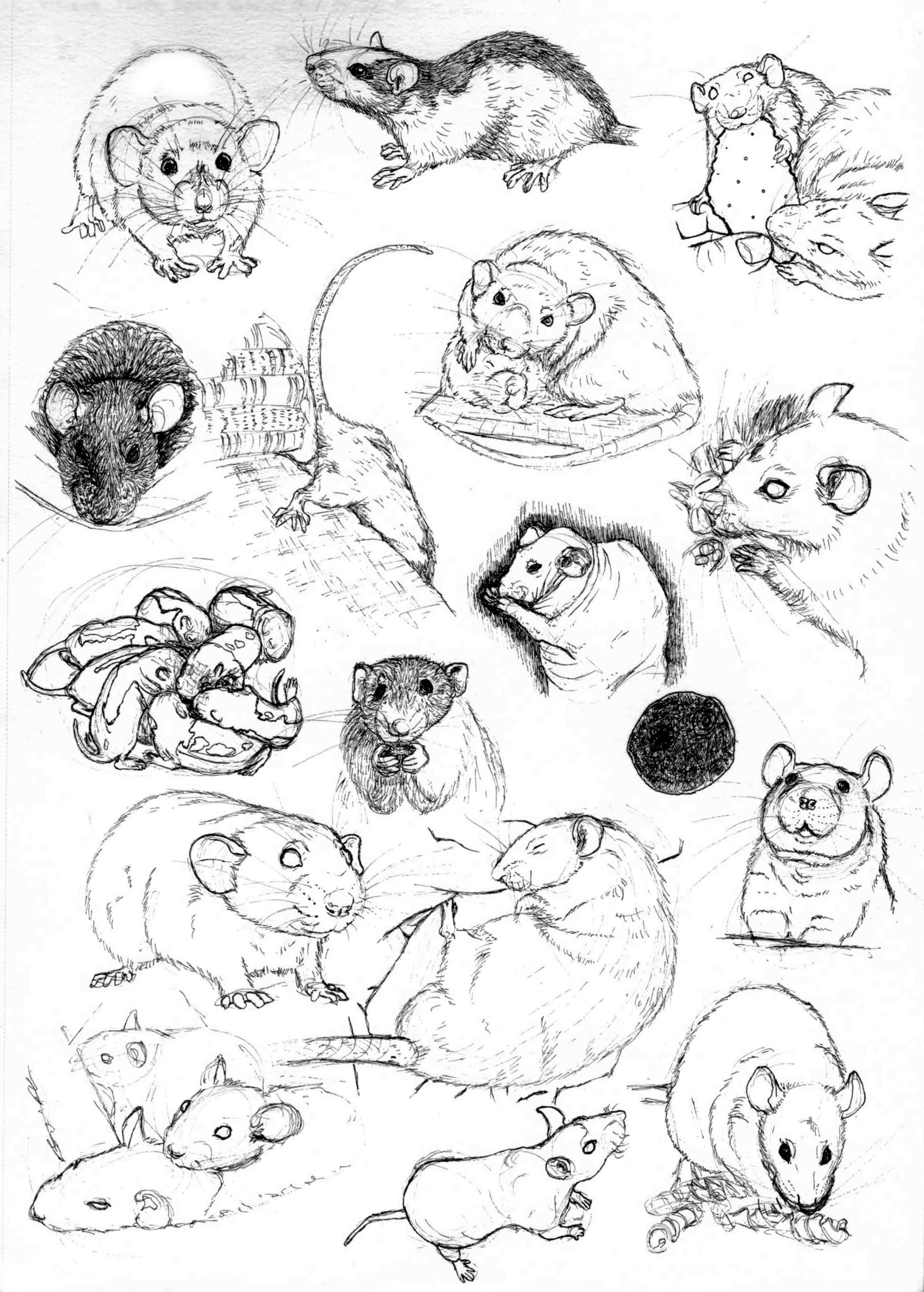 Drawn rat pet rat Practice mor Rat by by