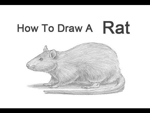 Drawn rat realistic To Rat Rat How a