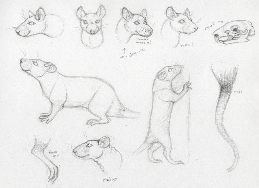 Drawn rat realistic Anatomy trik by s by