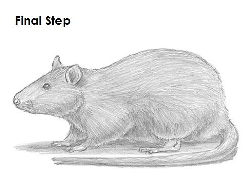 Drawn rat sketch To Draw Rat Rat Draw