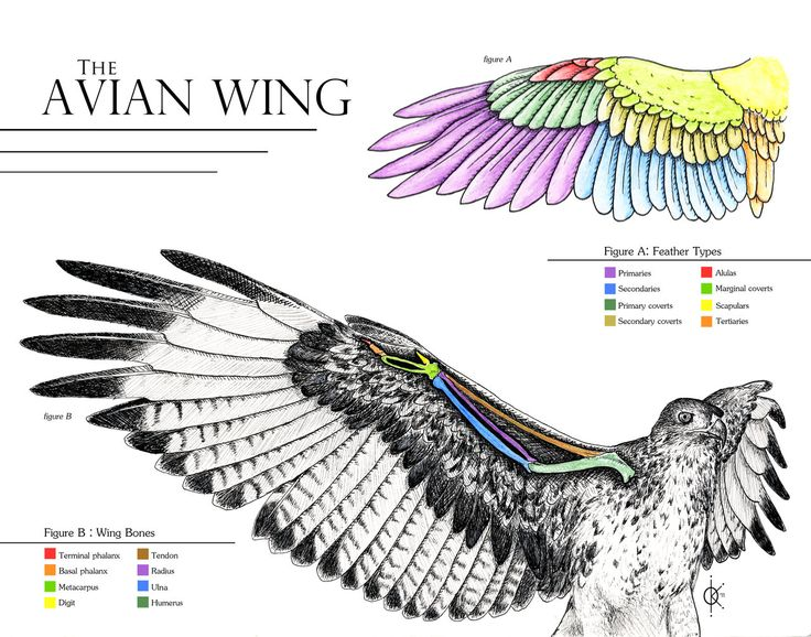 Drawn raven anatomy Hawkgirl: how on 41 best