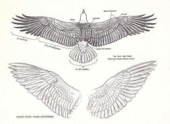 Drawn raven anatomy Vintage 39 Pinterest Eagle Raven