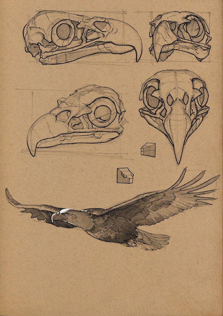 Drawn raven anatomy ArtStation best Bald Anatomy der