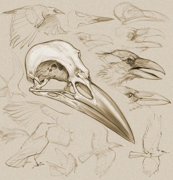 Drawn raven anatomy Stuffing via DRAWINGS  by