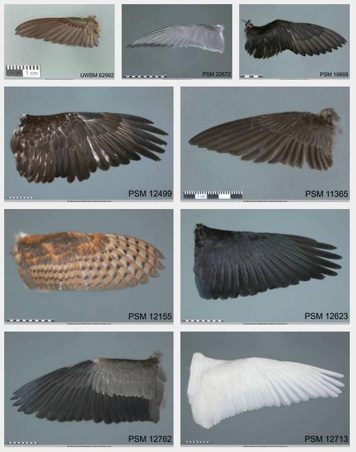 Drawn raven anatomy Bird swallow Types tern