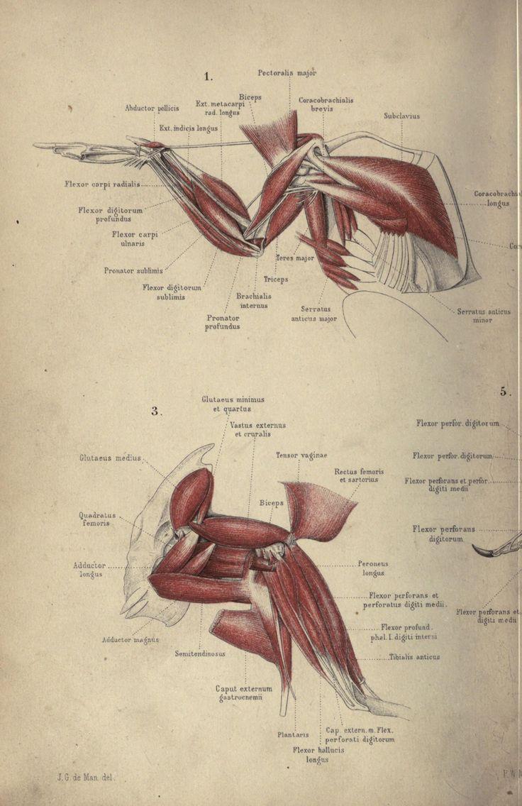 Drawn raven anatomy Scientificillustration: pigeon Pinterest and wing