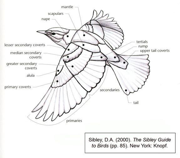 Drawn raven anatomy Find best this anatomy Bird