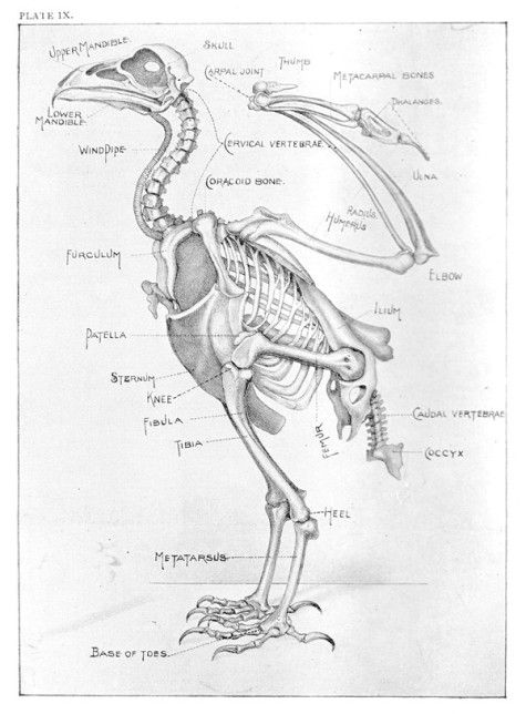 Drawn raven anatomy Find best this Avian Anatomy