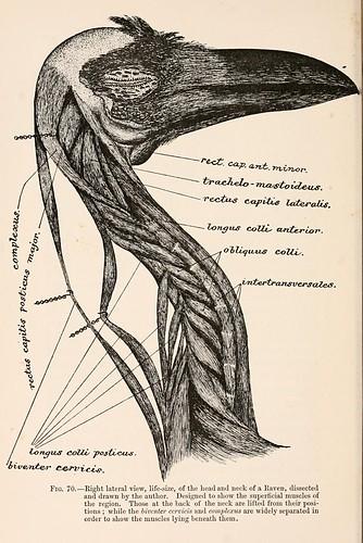 Drawn raven anatomy Raven raven  anatomy animals