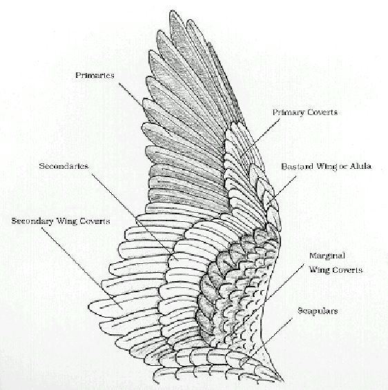 Drawn raven angel Feather: Joints and Wing Raven