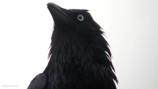 Drawn raven apollo Stuff – and little up