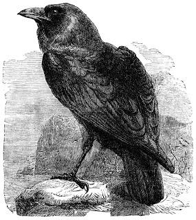Drawn raven apollo Day  Year And Raven
