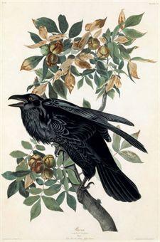 Drawn raven art nouveau AFTER HAVELL ROBERT RAVEN JOHN