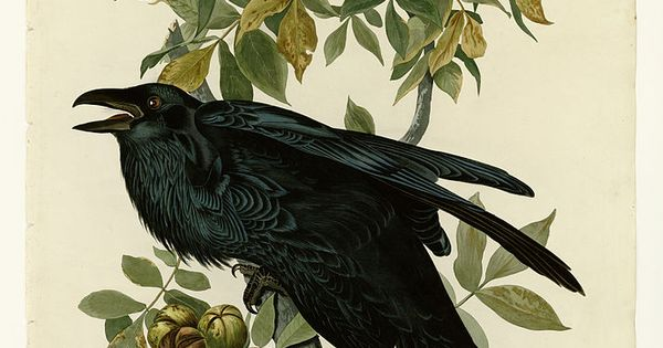 Drawn raven audubon Out and Spirit out Crows