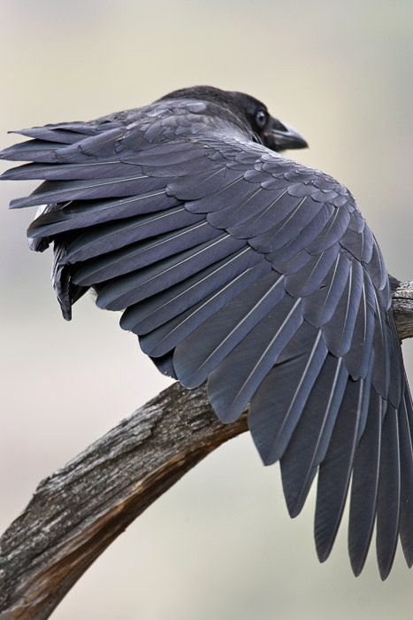 Drawn raven bird 124 Ravens photos Pinterest Find